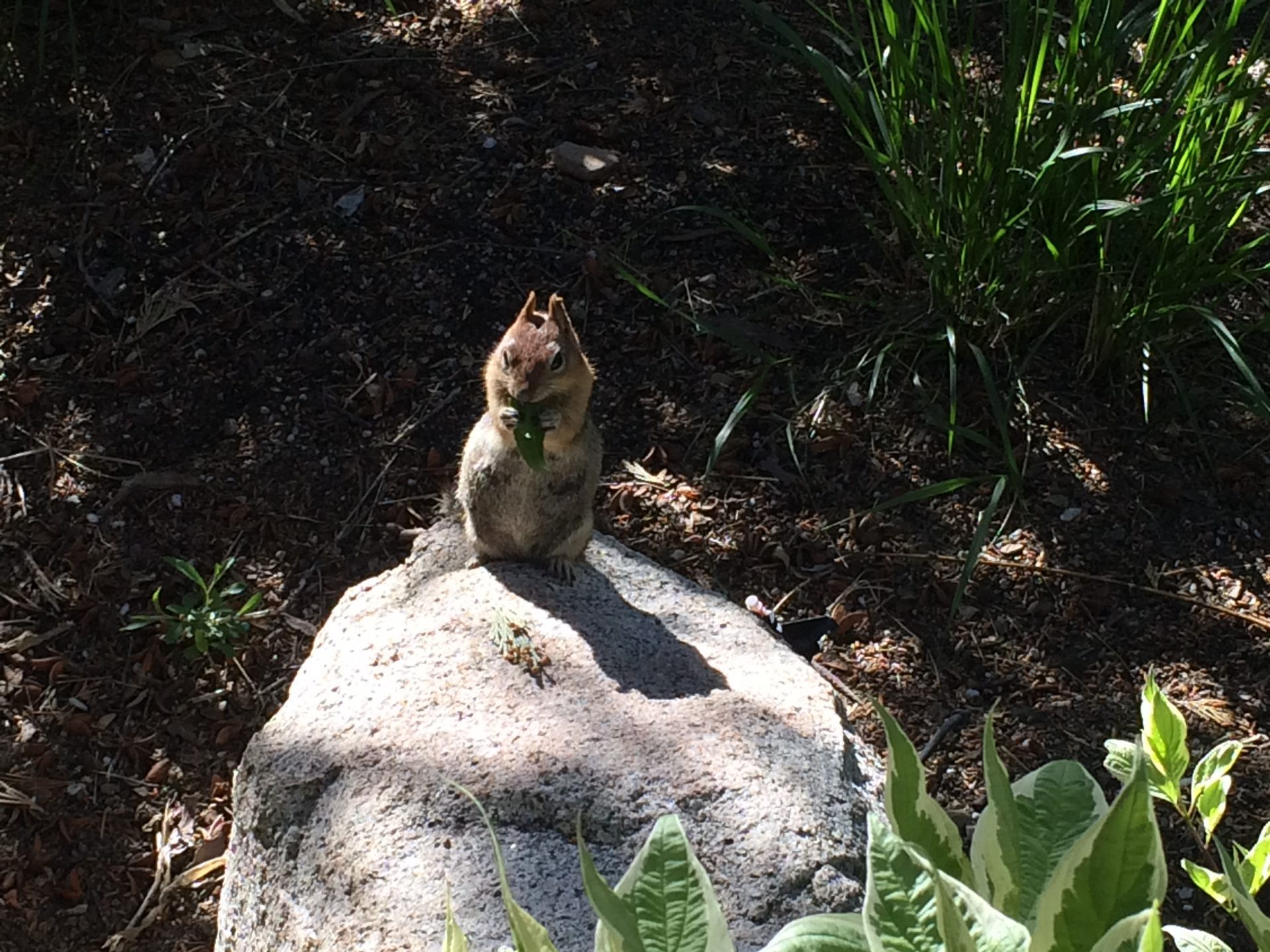 Tahoe chipmunk eating plants 07