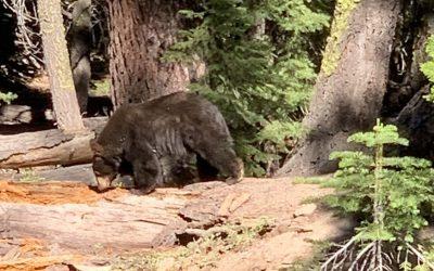 Animales Silvestres en Lake Tahoe / Cómo Reaccionar Ante un Encuentro